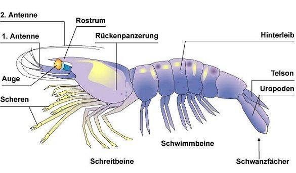 Anatomie der Garnele